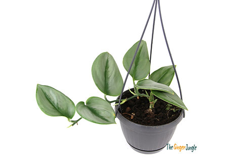 Scindapsus treubii Moonlight - Hanging pot
