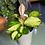 Hoya australis lisa Colourful houseplants the ginger jungle uk