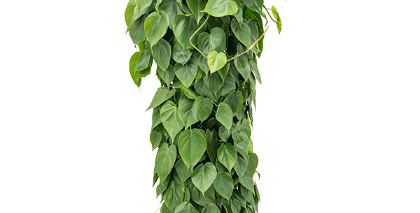 Philodendron scandens - Sweetheart Plant -  Pole
