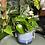 Epipremnum aureum 'Devils ivy' the ginger jungle the online houseplant shop