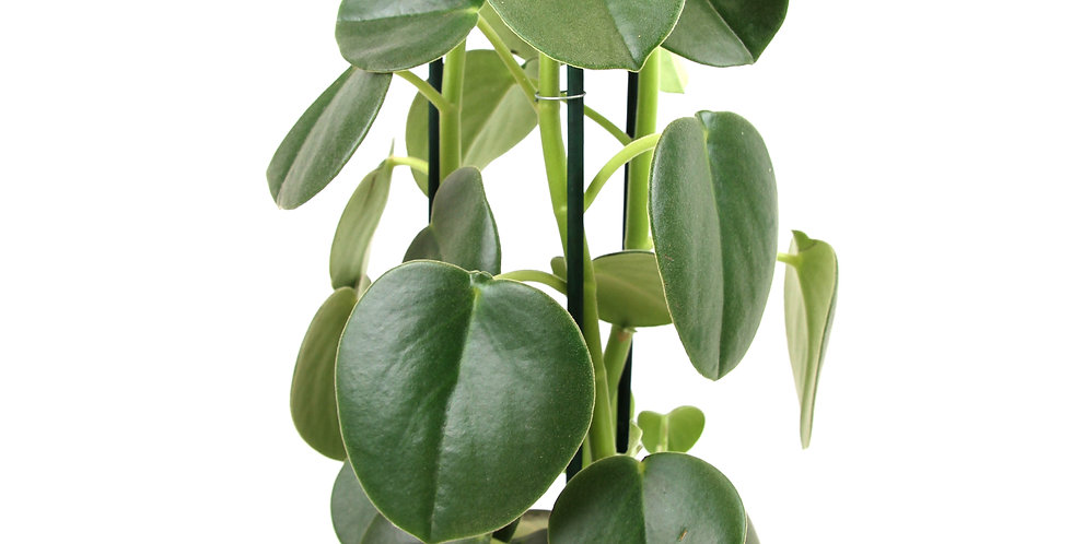 Peperomia Hovaria® Uk The Ginger jungle rare indoor plant uk