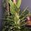 Thumbnail: Monstera standleyana variegated