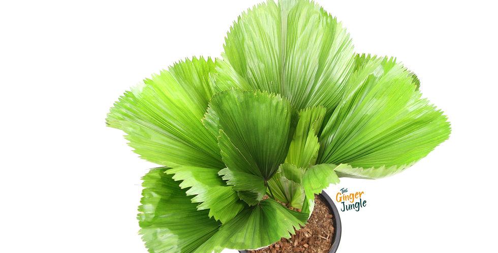 Licuala 'grandis' UK The Ginger Jungle rare indoor palms UK