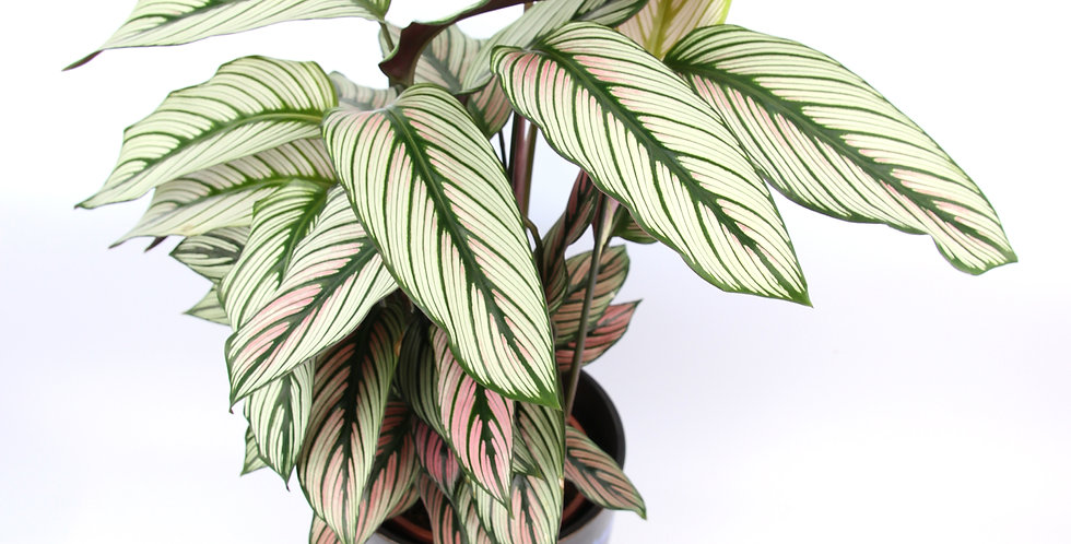Calathea white star The Ginger Jungle UK Indoor houseplants