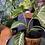 Xanthosoma lindenii UK The Ginger Jungle Caladium lindenii UK