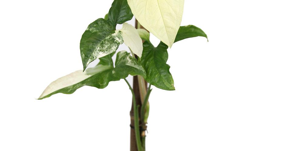 Syngonium podophyllum Variegata - C