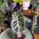 Alocasia pink dragon UK The Ginger Jungle the online houseplant shop