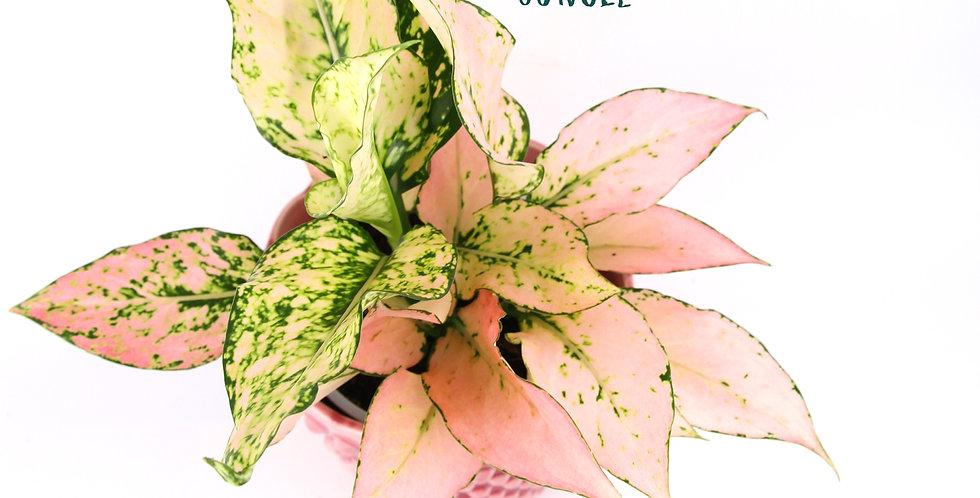 "Aglaonema hybrid ""Pink"""