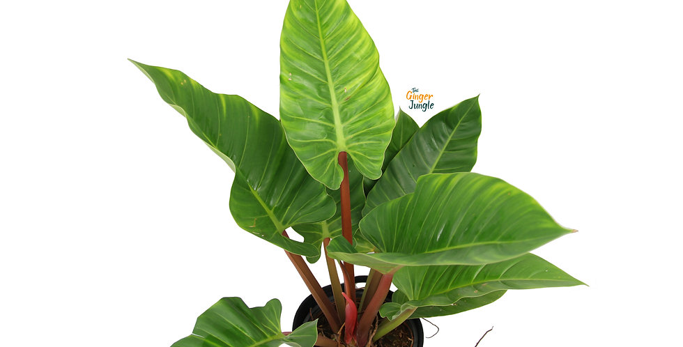 Philodendron Melinonii UK The Ginger Jungle Rare Philodendron UK AROID