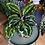 Calathea roseopicta medallion UK The Ginger Jungle Pet safe Houseplants