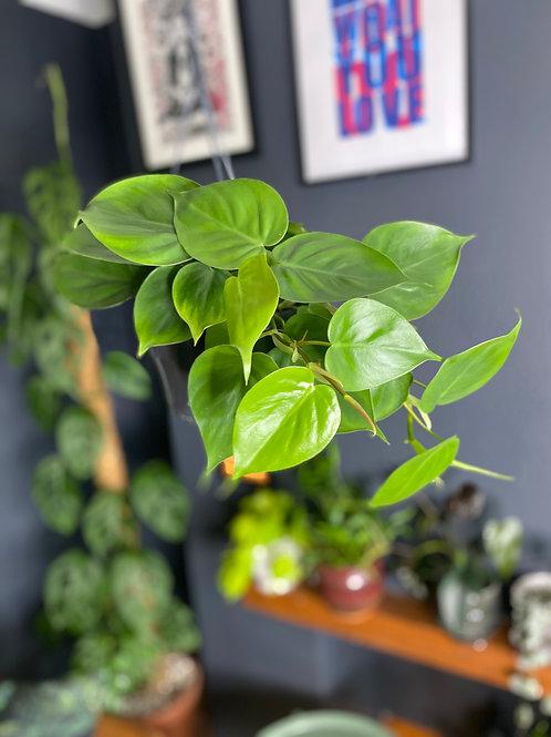 Philodendron Sweet Heart - Hanging pot UK Easy Indoor Plants