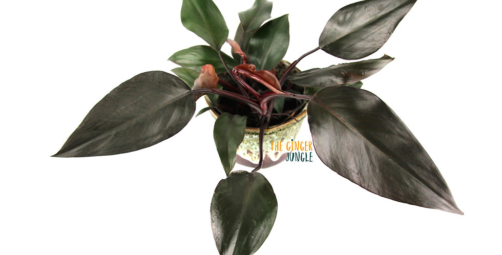 Philodendron Royal Queen - New Red the ginger jungle rare houseplants UK