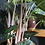 Thumbnail: Alocasia pink dragon - X-LARGE