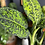 Dieffenbachia reflector UK The Ginger Jungle houseplants delivery to your door Sussex
