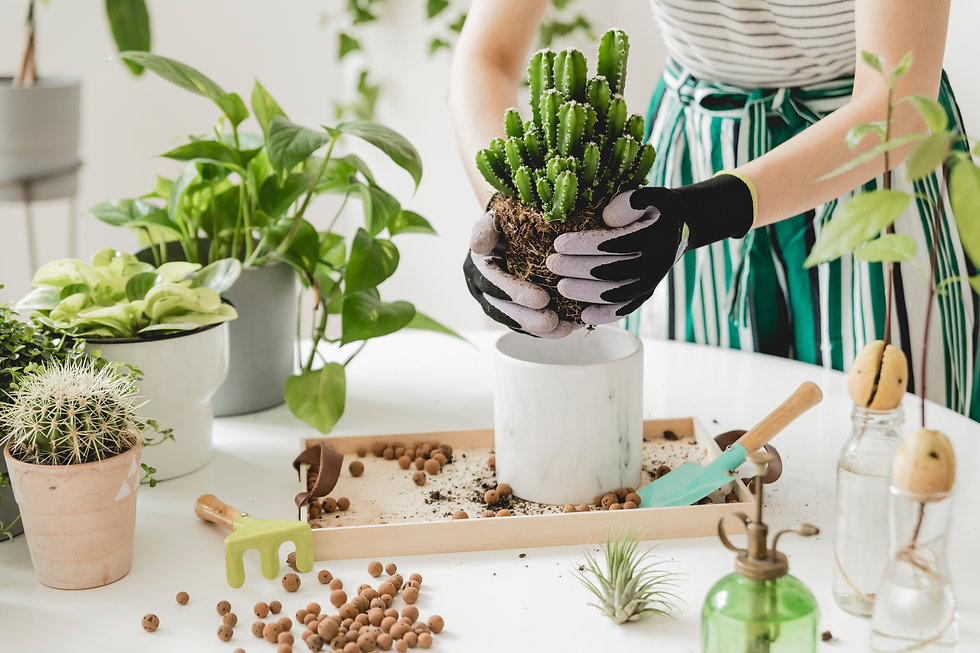 Woman gardeners  transplanting cacti in