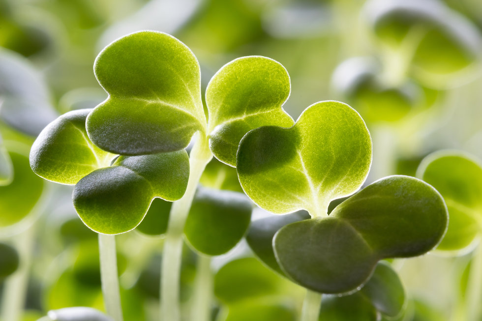 Closeup of five days old broccoli sprout