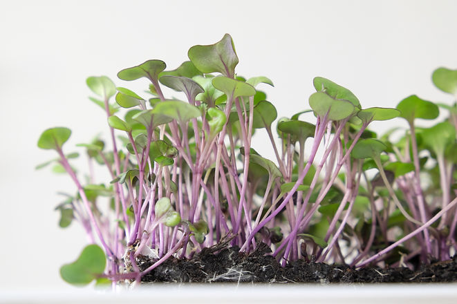 Microgreens of red cabbage growing in so