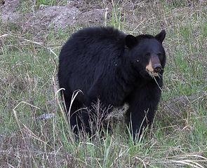 Yellowstone Black Bear Munching on Grass