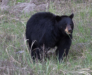 Yellowstone Black Bear Munching on Grass