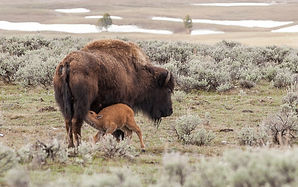 Yellowstone Mother Bison Nursing Calf