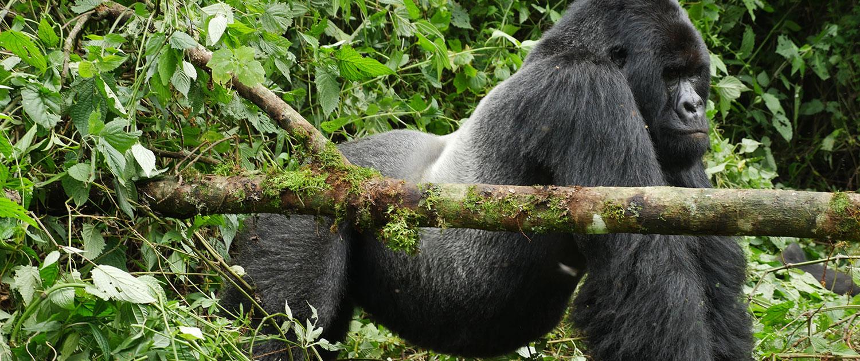 silverback-gorilla-congo-virunga-park