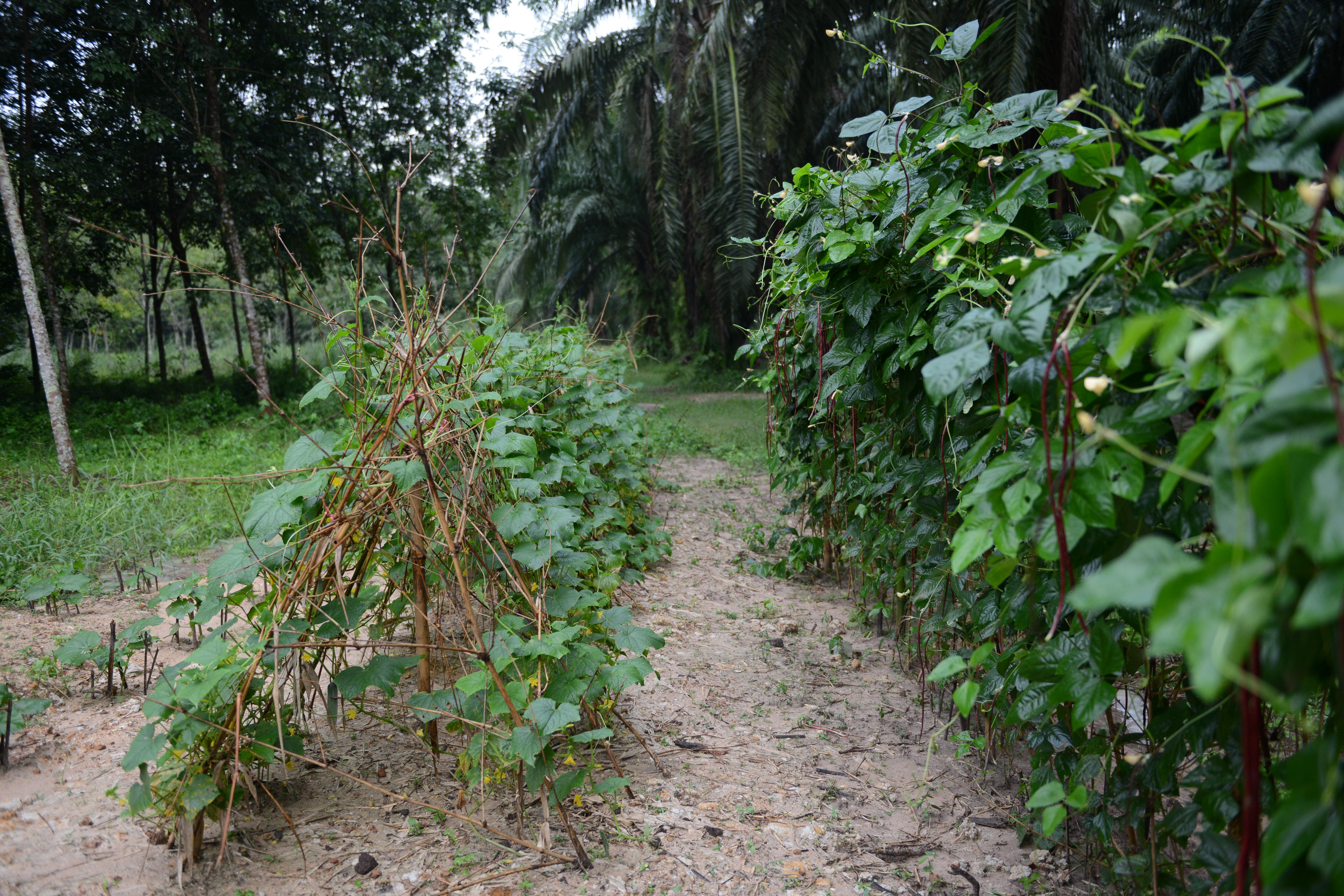 สวนแปลงถั่วฝักยาว