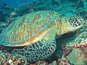 Life of a Sea Turtle