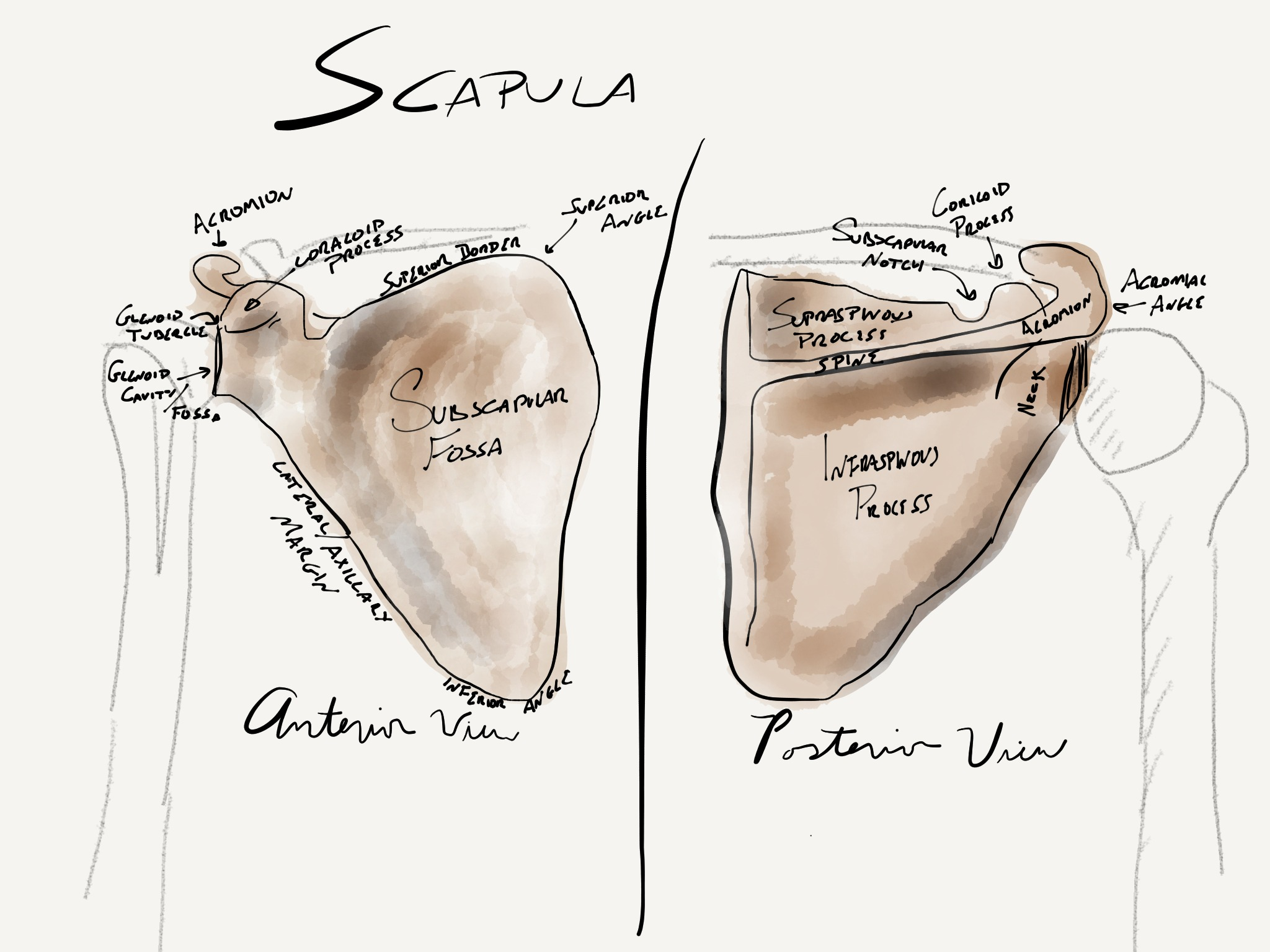 The Scapula