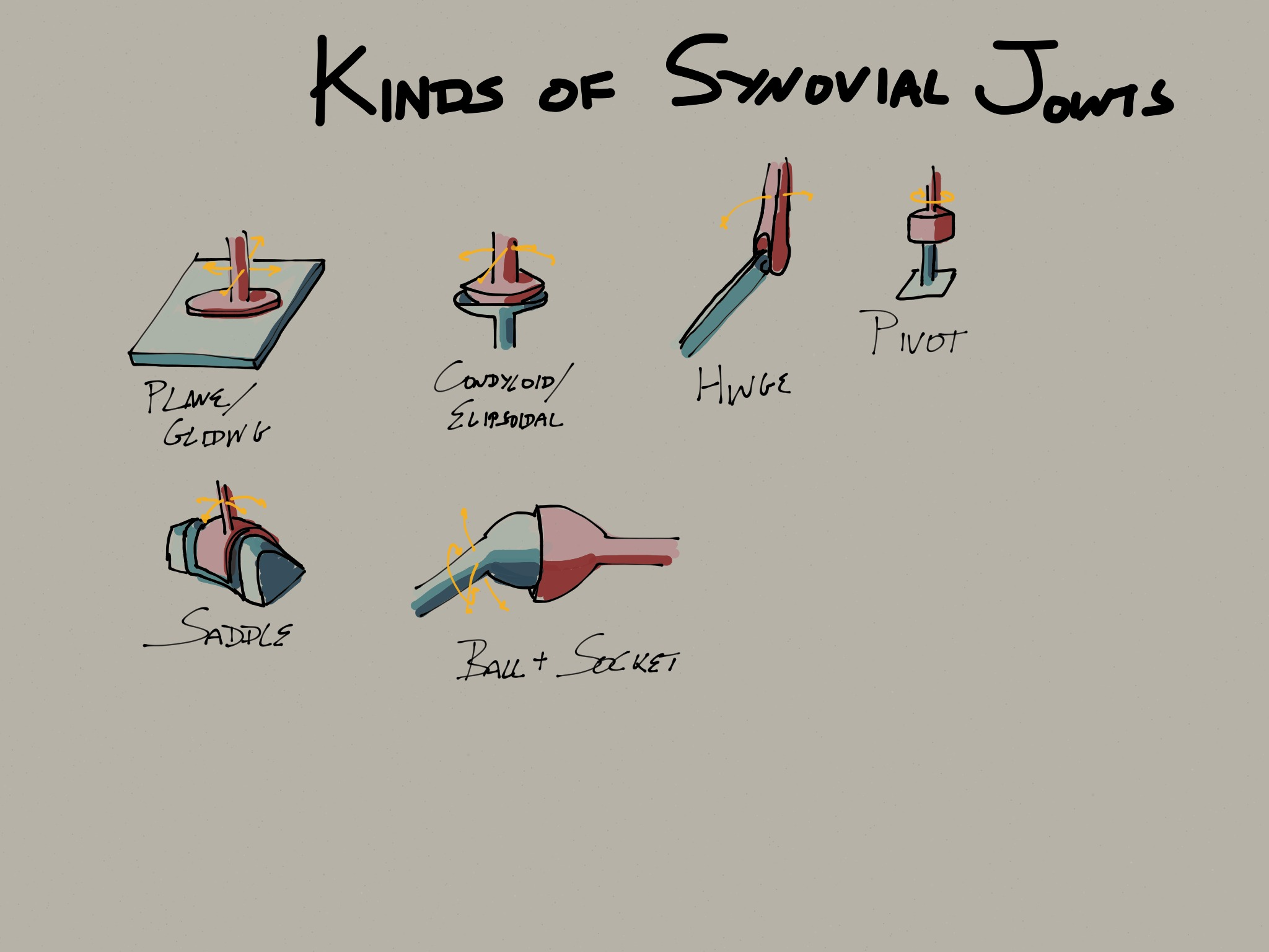 Kinds of synovial joints