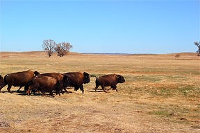 Bison release.jpg