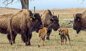 Buffalo-19-3.jpg