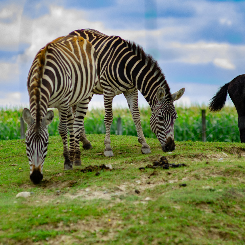 Lauren Hedges Photography Collingwood Zebras