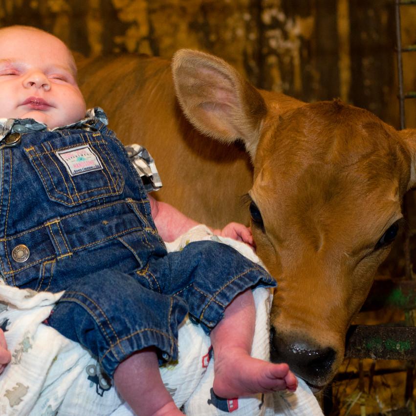 Lauren Hedges Photography Newborn and Calf