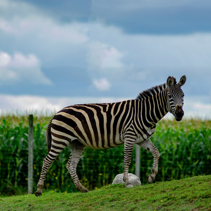 Lauren Hedges Photography Collingwood Zebra