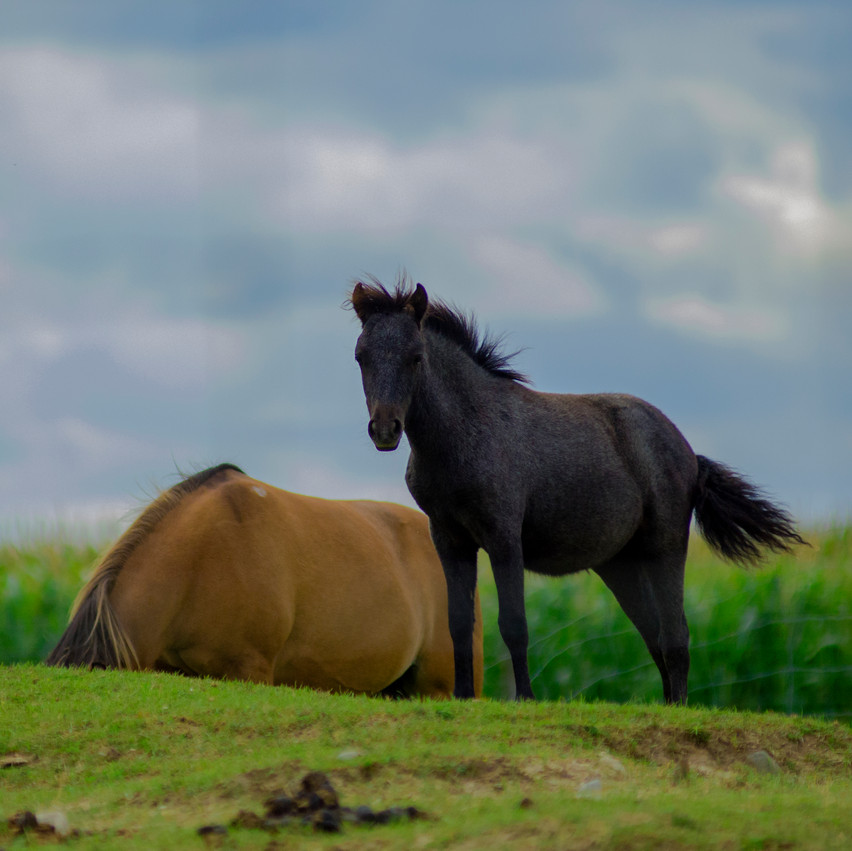 Lauren Hedges Photography Collingwood Horses
