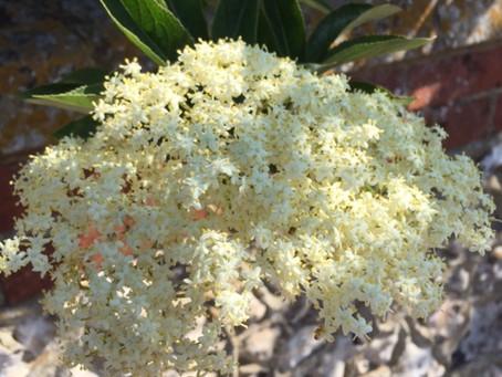 Nature Connections 32 - Excellent Elderflowers