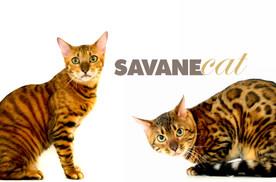 Savane Cat