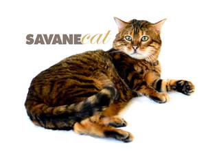 Savane Cat + Russian