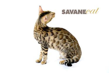 Savane Cat + June