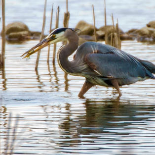 Great Blue Heron With Small Fish Dinner