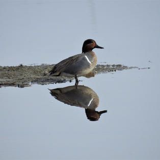 Green-winged Teal on Bass Pond