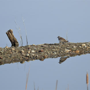 Killdeer on Cottonwood Marsh