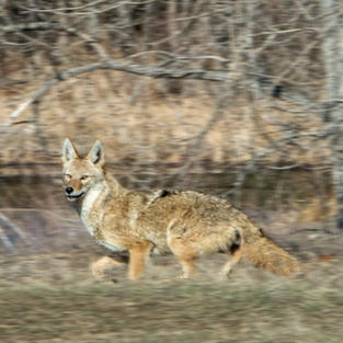 Running Coyote Looking for a Meal