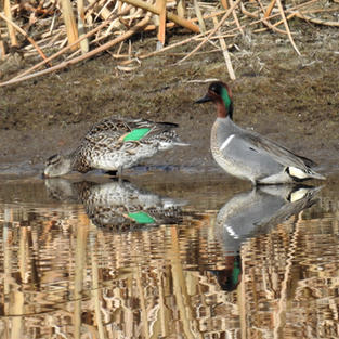 Pair of Teals on Bass Pond