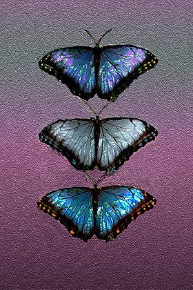 Trilogy - 3 Butterflies