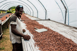 Tari manages the drying cocoa beans at M