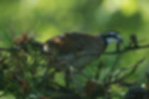 Bobwite Quail in pine tree at Flahety Field Trial Area, East Windsor, CT., Dog Trial Area