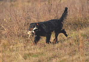 Gordon Setter at Flahety Field Trial Area, East Windsor, CT., Dog Trial Area