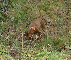 Vizsla on Point at Flahety Field Trial Area, East Windsor, CT., Dog Trial Area