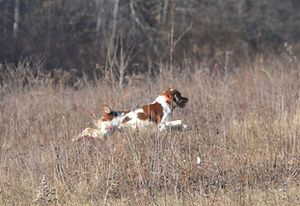 Brittany at Flahety Field Trial Area, East Windsor, CT., Dog Trial Area